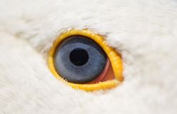 The eyes of a goose with a black round pupil stock photo