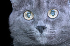 Eyes gray cat close-up Stock Image
