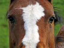 eyes hästen Arkivfoto