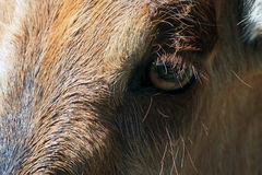 The eyes and head of the African antelopes closeup side Royalty Free Stock Photo