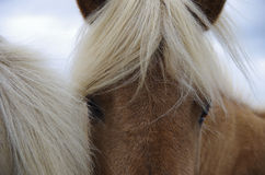 Eyes of horse. Eyes of icelandic brown horse Royalty Free Stock Images
