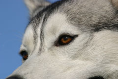 Eyes of husky Royalty Free Stock Photo