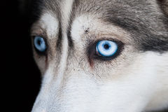 Eyes of husky dog Royalty Free Stock Photos