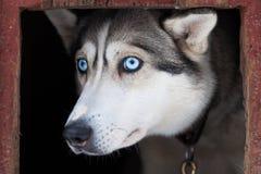 Eyes of husky dog Stock Image