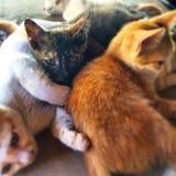 Eyes il gatto Immagini Stock