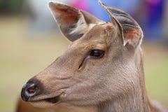 Eyes il primo piano del radiatore anteriore dell'orecchio di giovane cervo fotografie stock