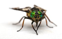 Eyes of an insect. Portrait  Gadfly. Hybomitra Royalty Free Stock Images