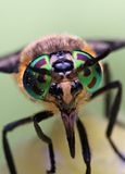 Eyes of an insect. Portrait Gadfly. Hybomitra. Eyes of an insect. Portrait of a Gadfly.Hybomitra horse fly head closeup Stock Image
