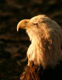 Eyes of Intensity. Image of a Bald Eagle Stock Image