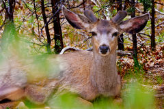 Eyes of the Kaibab Forest. A Mule Deer Buck, native to the Kaibab Forest around the Grand Canyon of Arizona, watching me through the brush as he rests under a Stock Photography