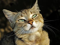 Eyes of lady-cat Royalty Free Stock Photo