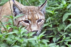 Eyes like a lynx. Close-up shot of a lynx in underwood, focus at the eyes Stock Photo