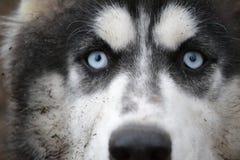 Eyes o cão de trenó durante a raça Fotografia de Stock Royalty Free