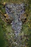 Eyes o crocodilo Fotografia de Stock
