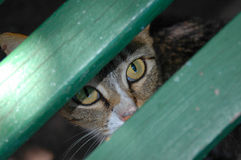 Free Eyes Of A Cat Royalty Free Stock Image - 1950356