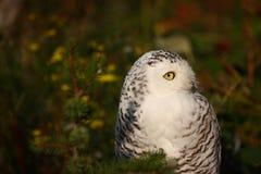 Eyes open. A photo of a snow owl stock photos
