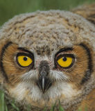 The Eyes of an Owl Stock Photography