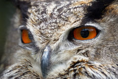 Eyes owl Royalty Free Stock Photo