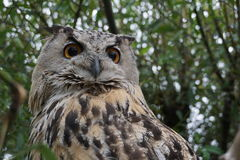 The eyes of owl. Owl sitting on the tree close-up Stock Images