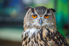The eyes of owl. royalty free stock photography