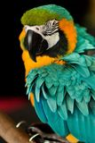 Eyes of a parrot Royalty Free Stock Photos