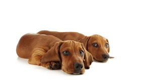 Eyes of puppies. Two dachshund puppy are looking ahead stock video footage