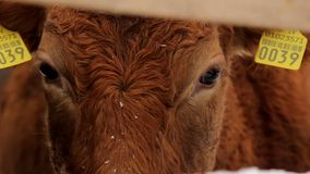 Сow`s eyes under the snow. Eyes of a red cow standing under snow behind a wooden fence stock video footage