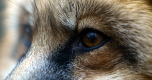 The eyes of the Red Fox Stock Photo