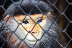 Eyes of red lagur in cage Stock Image