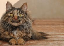 Eyes resting cat. Calico cat resting on wooden boards on a clear day Royalty Free Stock Photography