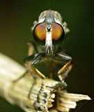 The eyes of robberfly Royalty Free Stock Photo