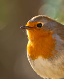The eyes of the Robin. A close up at the pretty face of a Robin (Erithacus rubecula) and it´s big dark eyes in the backlight Royalty Free Stock Photos
