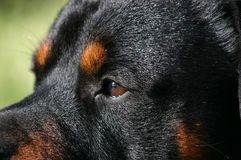 Eyes of Rottweiler. Profil of purebred mastiff rottweiler: dangerous watching dog Royalty Free Stock Photos