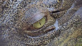 Eyes of Saltwater crocodile in nature. stock footage