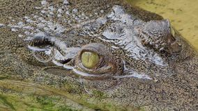 Eyes of Saltwater crocodile in nature. stock video footage