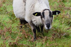 Eyes of the sheep. Welsh sheep grazing the land Stock Photography