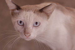 Eyes of siamese cat Royalty Free Stock Photo