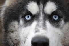 Eyes sled dog during the race Royalty Free Stock Photography