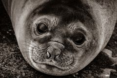 Southern baby Elephant seal. The eyes of an Southern baby Elephant seal Mirounga leonina royalty free stock image
