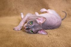Eyes of the sphinx cat. Green eyes of the little sphinx cat royalty free stock photography