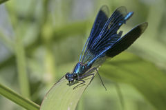 Eyes staring Banded Demoiselle Stock Photo