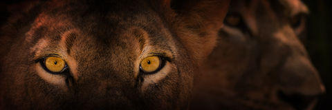 Eyes of staring lion. Wide angle portrait of lion with staring yellow eyes; black background Stock Photos