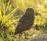 Eyes That Startle. Burrowing owl backlit against natural environment royalty free stock image