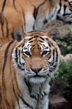 The eyes of a tiger. Closeup of a tiger Stock Photo