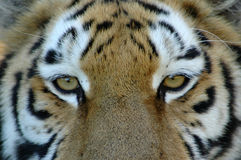 Eyes of tiger. Closeup of tiger eyes with alert and dangerous facial expression Stock Photos