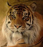 The eyes of the tiger. royalty free stock photos