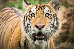 Eyes of a tiger Stock Photography