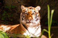 eyes tigern royaltyfria bilder