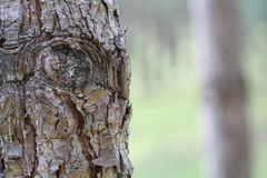 Eyes of a Tree trunk. Tree trunk on a florest Royalty Free Stock Image