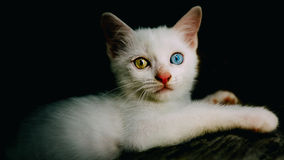 The Eyes. Warm eyes of white cat royalty free stock photography